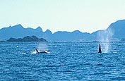 Killer whales just off land.